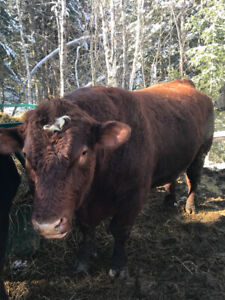 4 Year Old Purebred Shorthorn Bull for Sale