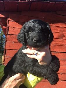 Goldendoodle Puppies Ready Soon!!!