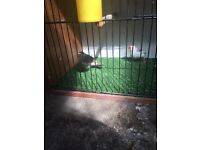 Various zebra finches for sale