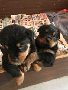 Rottweiler $1000.00 ALL SOLD new litter 4 weeks leave Dep. today