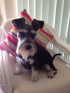 Wag Tails Dog Grooming Butler Wanneroo Area Preview