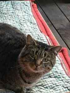 Found Male Cat - Brown Tabby Shorthair London Ontario image 1