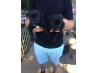 Patterdale x jack russell puppies