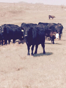 Cow calf pairs ready to be kicked on grass