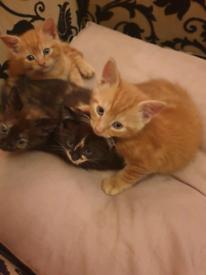 Gorgeous ginger boy kittens!