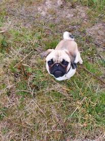 1 Year Old Pug Puppy - PENDING