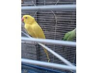 Parrots for sale ; Indian ring neck