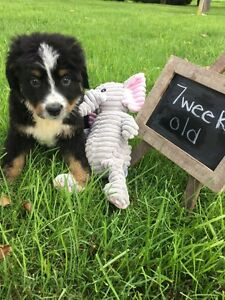 PUREBRED BERNESE MOUNTIAN DOG PUPPY
