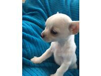 Male pedigree chihuahua pup