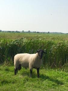Purebred Registered Suffolk Ram
