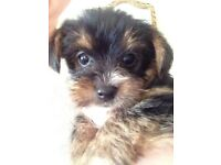 Yorkshire terrier cross Pappillion