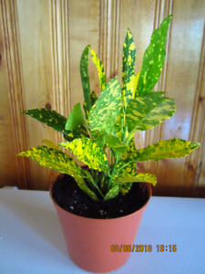 Speckled Croton - Tropical Plant