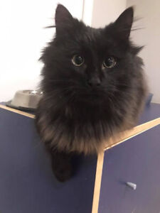 LOST Black Longhair Cat in Dundas