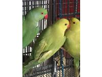 Ringneck Parrots 10 months old close rung 2015