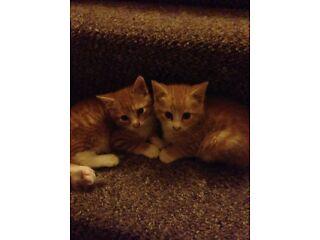 2 ginger boy kitten