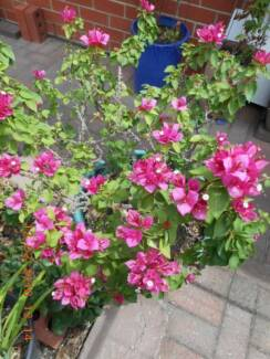 BOUGAINVILLEA – PINK PIXIE (PROBABLY)