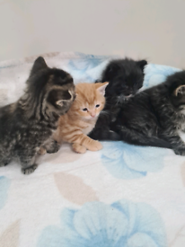 ALL RESERVED 4 Fluffy Little kittens, 6 weeks old