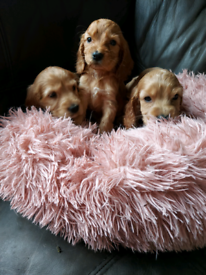 Cocker spaniel boy puppies