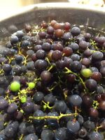 Grapes - free for the picking