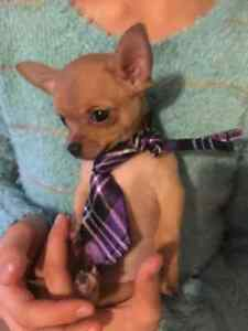 Chihuahua Puppies - ready to go