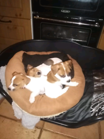 Full breed Jack Russell