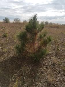 Red Pine Seedlings