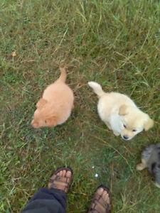 Australian Shepard Blue Healer Cross Golden Retriever Puppies