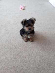 Female Yorkshire Terrier - Toy size - 3 months old