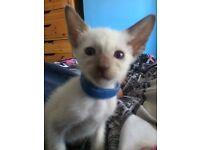 Siamese kittens Ready 24/09/16 (Boy Left)