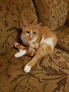 *Free to good home* 2 year old orange tabby male
