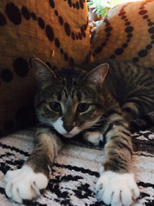 FREE 3 Year old Female Cat