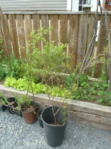 One Gooseberry Plant and One Black Currant Plant