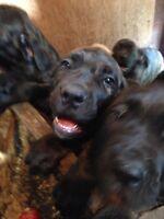 Italian Mastiff puppies