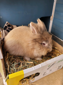 1 year old Lionhead rabbit and hutch