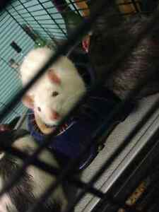 Fancy pet Rat's free to a good home! Cambridge Kitchener Area image 2
