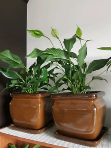 Big floor plants air purifying hardy in big ceramic planters