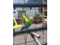 Two female budgie (Aviary home only)