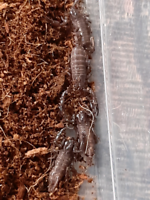 Baby spiders for sale