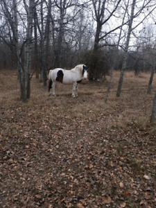 Gypsy and quarter horse