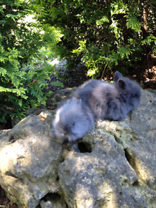 Adorable Tiny Fluffy Baby Bunnies!!! Going fast!!