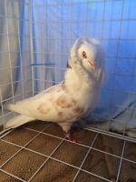 Fancy Pigeons!