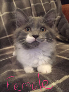 10 week old kittens for sale