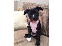 Staffy Staffordshire bull terrier puppy