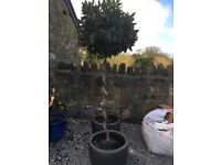 Bay trees in pots. 8 ft. Twisted stems