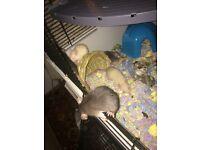Male marten rats