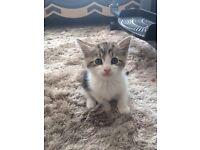 Beautiful tabby boy kitten