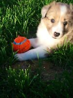 Sheltie/mini Australian Sheppard female puppy