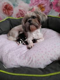 Miniature shih tzu puppy