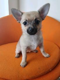 Female Pomchi Puppy