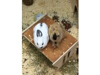 Small animal pet sitting services 🐹🐇